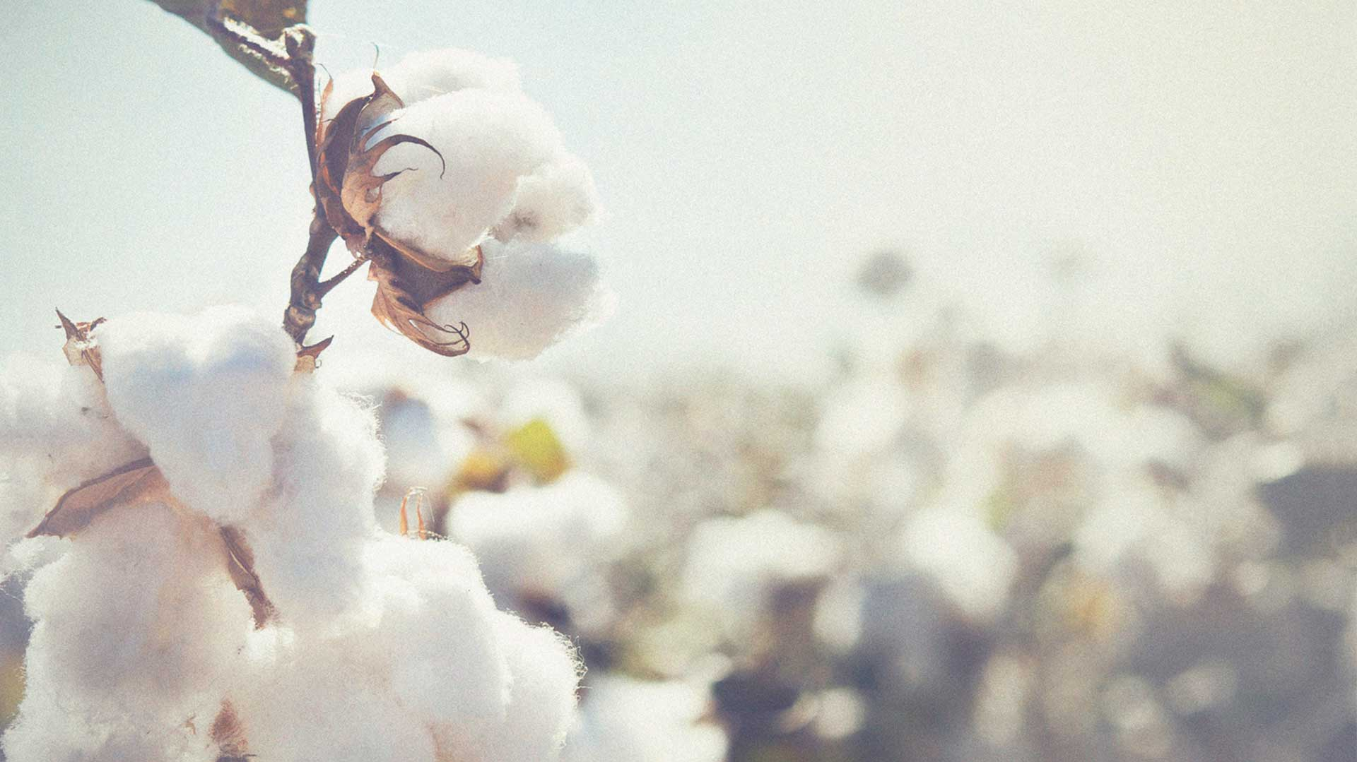 Nuevos datos sobre el consumo de agua del algodón