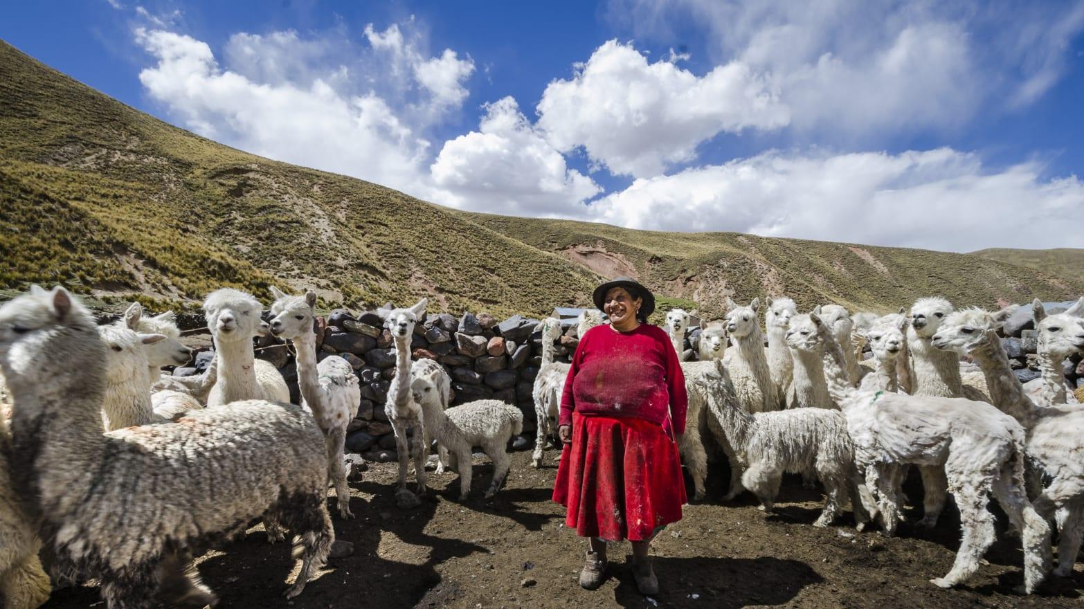 La increíble historia del origen de la alpaca
